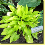 Picture: Hosta Sun Worshipper