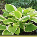 Picture: Hosta Sunshine Glory