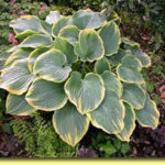 Picture: Hosta Templar Gold