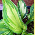 Picture: Hosta Temptation