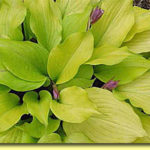 Picture: Hosta Tickle Me Pink