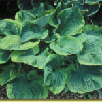 Picture: Hosta Titanic