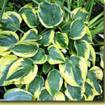 Picture: Hosta Tootie May