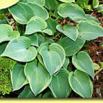 Picture: Hosta Toy Soldier