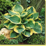 Picture: Hosta Twilight