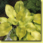 Picture: Hosta Waiting in Vein