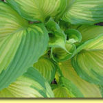 Picture: Hosta War Paint