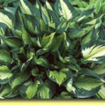 Picture: Hosta Whirlwind