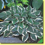 Picture: Hosta Winsome