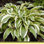 Picture: Hosta Wolverine