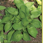 Picture: Hosta Worldly Treasure