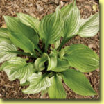 Picture: Hosta Zebra Stripes