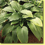 Picture: Hosta Tidewater