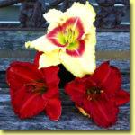 Picture: Daylilies: Monterrey Jack & Desert Flame