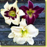 Picture: Daylilies: Moonlit Masquerade, Indian Giver, & Early Snow