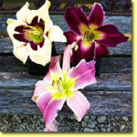 Picture: Daylilies: Moonlit Masquerade, Indian Giver, & Flutterbye