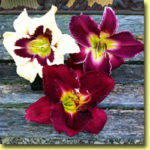 Picture: Daylilies: Moonlit Masquerade, Indian Giver, & Nosferatu