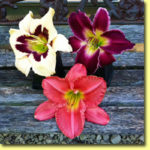 Picture: Daylilies: Moonlit Masquerade, Indian Giver, & Scottish Fantasy
