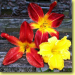 Picture: Daylilies: Ruby Spider, Christmas Ribbon, & Starstruck