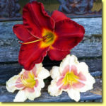 Picture: Daylilies: Sun Dried Tomatoes & When My Sweetheart Returns