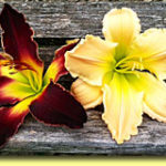 Picture: Daylilies: Virgil's Suspenders & Golliwog