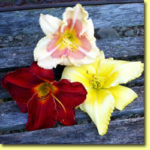Picture: Daylilies: When My Sweetheart Returns, Sun Dried Tomatoes, & Matt's Gift
