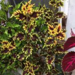 Coleus-Stained-Glassworks-Golden-Gate-my-pic-1