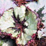 Rex Begonia Hurrican (my pic)