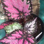 Rex Begonia Misty Island