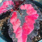 Rex Begonia Red Robin