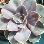 Succulent Perle von Nurnberg